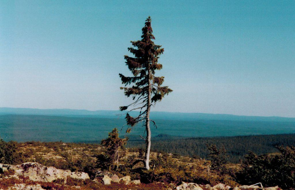 un épicéa commun vieux de 9 550 ans