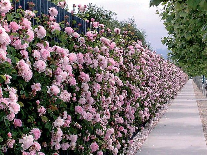 Le rosier de Californie engendre une nombre record de fleurs